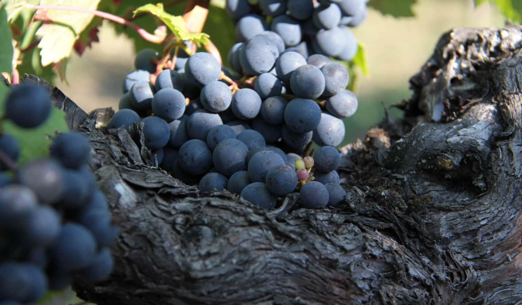 Château Bellegrave - Grappe de raisin